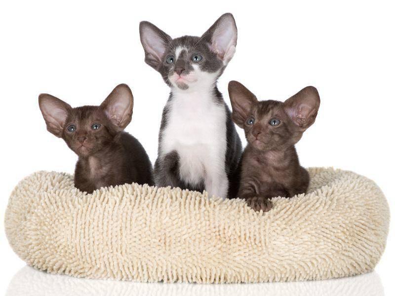 Eine schlanke Katze mit langen Beinen und großen Ohren: Das ist die Orientalisch Kurzhaar – Bild: Shutterstock / otsphoto