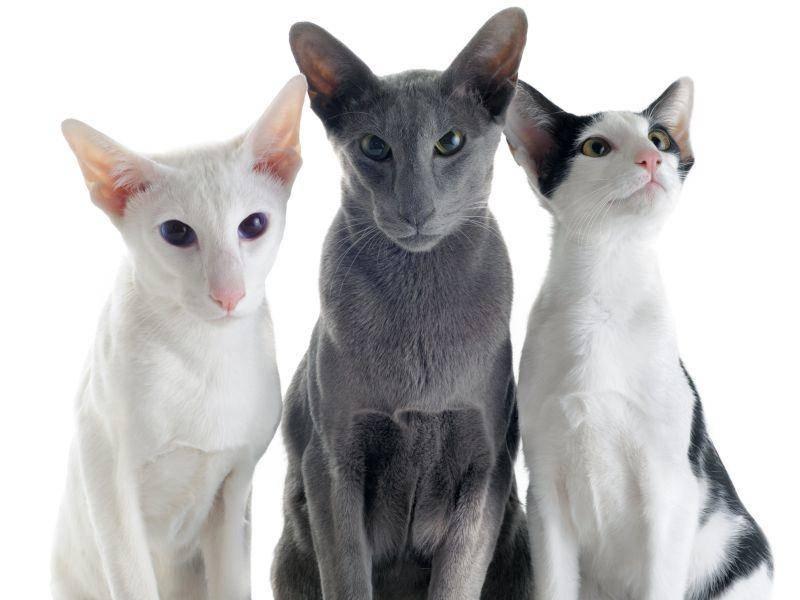 Bei der Orientalisch Kurzhaar kommen verschiedene Fellfarben vor – Bild: Shutterstock / cynoclub