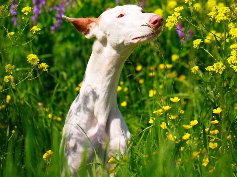 Scharfe Sinne sind für einen Jagdhund wie diesen selbstverständlich – Bild: Shutterstock /DragoNika