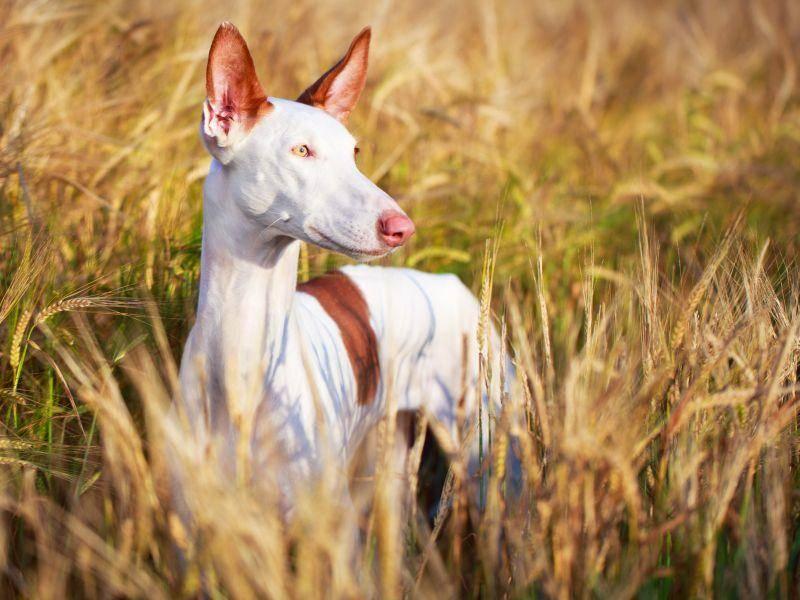 Als begabter Kaninchenjäger entgeht dem Vierbeiner keine Bewegung am Horizont – Bild: Shutterstock /DragoNika
