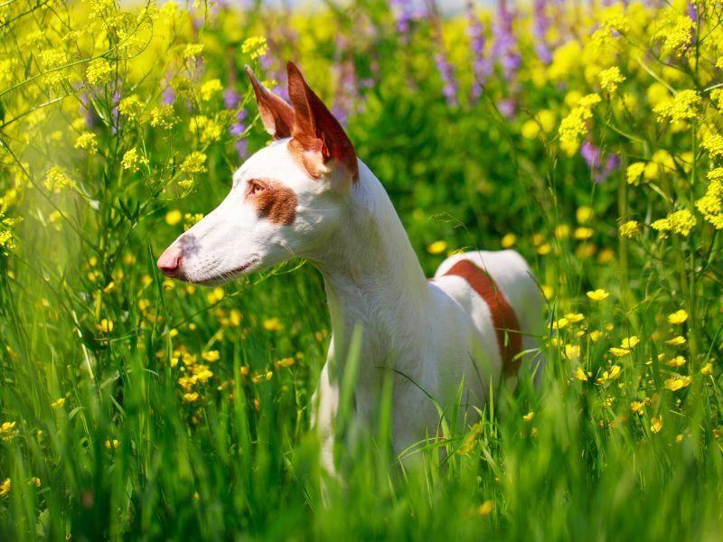 Man sieht es schon an seinem Blick: Der Podenco ist ein neugieriger, aufgeweckter Hund – Bild: Shutterstock / DragoNika