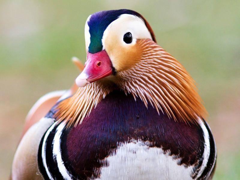 Die Erpel sind mit ihren bunten Farben nicht zu übersehen – Bild: Shutterstock / Marek Stuchly