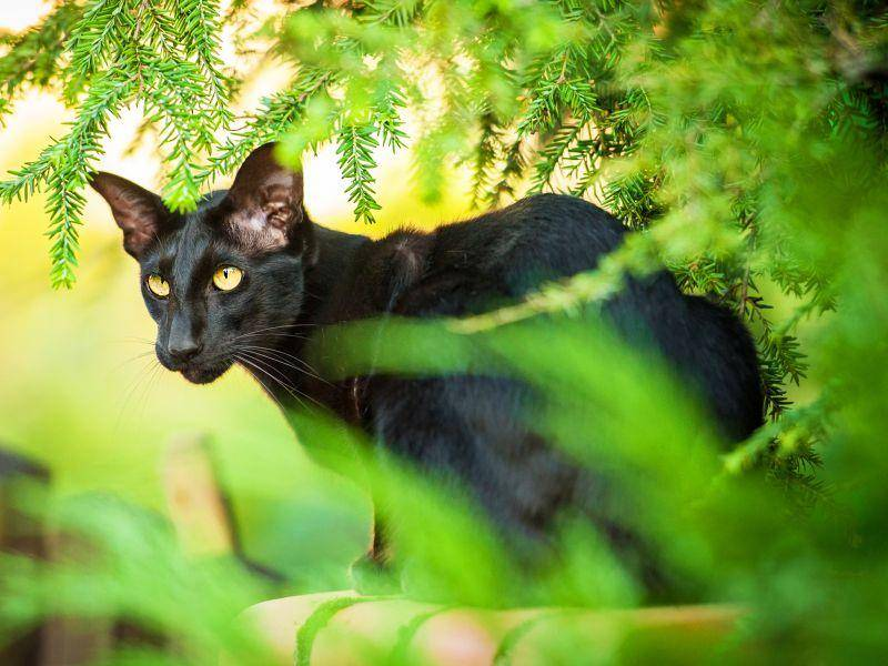 Freigang oder Spaziergänge an der Leine findet die bewegungsfreudige Katze toll –Bild: Shutterstock / Rita Kochmarjova