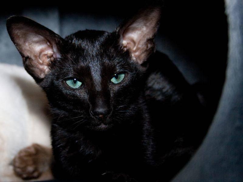Ihre leuchtenden Augen geben der Katze einen faszinierenden Touch – Bild: Shutterstock / TalyaPhoto