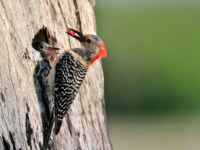 Für ihre Küken zimmern Spechte Nisthöhlen in Baumstämmen – Bild: Shutterstock / FloridaStock