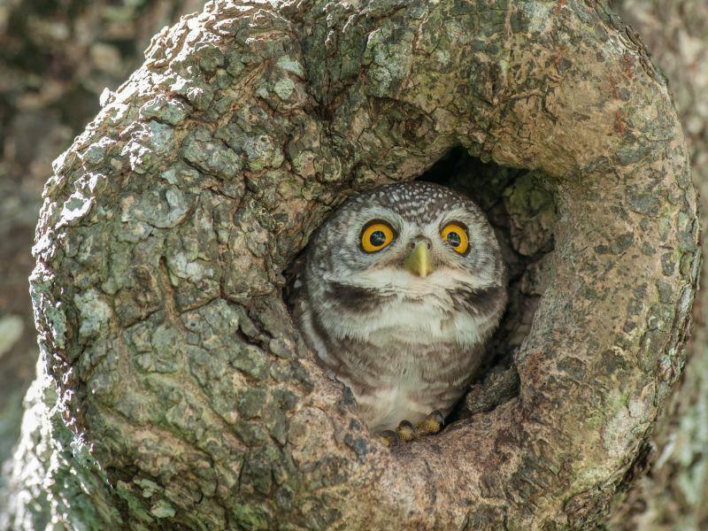 """""""Ich bin ein junger Fleckenkauz und ihr?"""" – Bild: Shutterstock / Spot owl"""