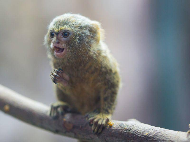 Als erwachsene Affen leben Zwergseidenäffchen in Bäumen und sind tagaktiv – Bild: Shutterstock / Cuson