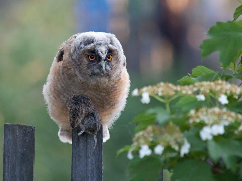 """""""Ich bin auch noch klein"""", möchte dieses Waldohreulenküken mal anmerken – Bild: Shutterstock / yykkaa"""