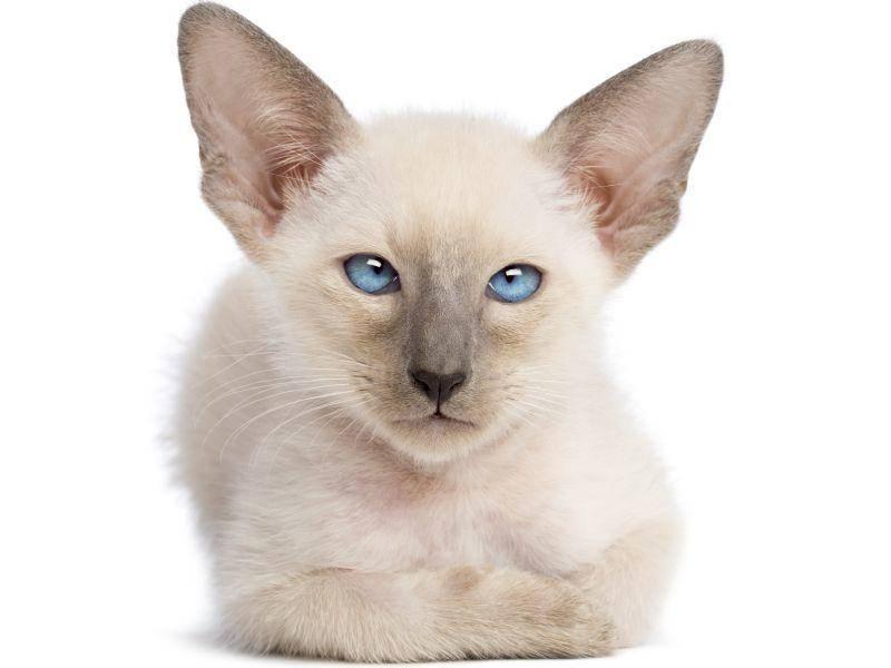 Die Kitten wachsen mit durchschnittlich etwa fünf Geschwistern auf – Bild: Shutterstock / Eric Isselee