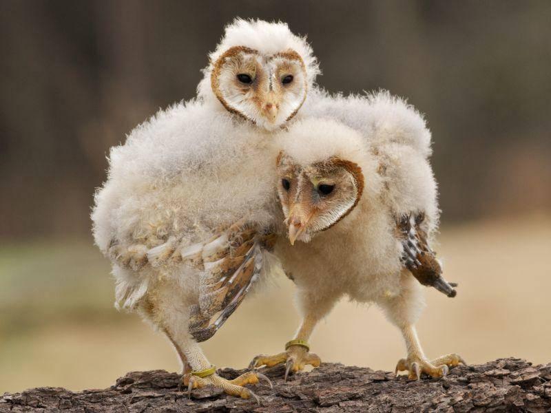 Diese zwei Schleiereulen müssen noch groß und stark werden –Bild: Shutterstock / GMH Photography