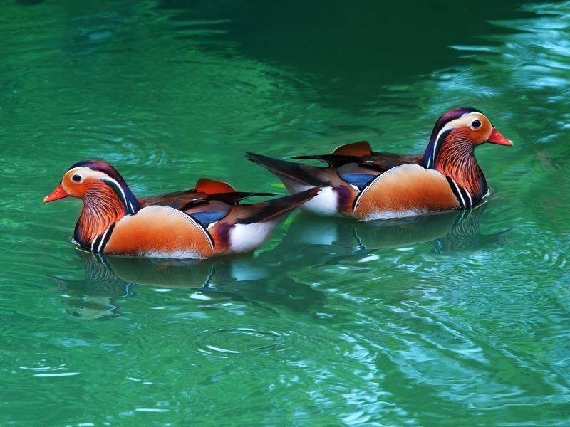 Mandarinenten leben mit mehreren Tieren in Schwärmen zusammen – Bild: Shutterstock / stockphoto mania