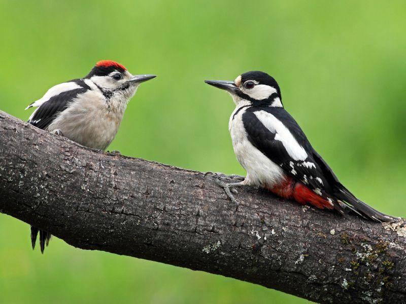 Spechte sind Nesthocker, die erst aus dem Nest vertrieben werden, wenn sie schon etwas größer sind – Bild: Shutterstock / Targn Pleiades