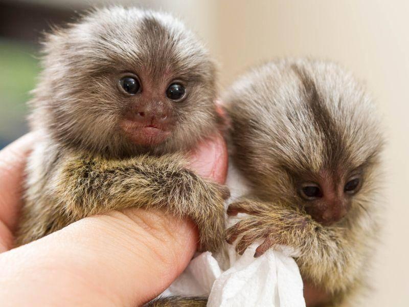 Süßes Doppelpack: Zwergseidenäffchen kommen meist als zweieiige Zwillinge zur Welt – Bild: Shutterstock / bluedogroom