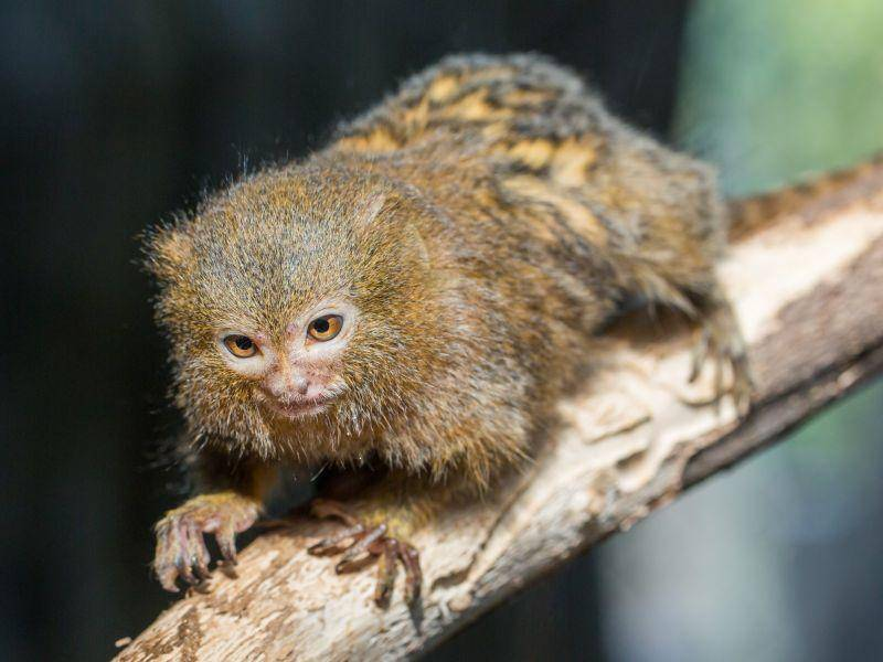 Mit ihren Krallen können sie fantastisch klettern – Bild: Shutterstock / Cuson