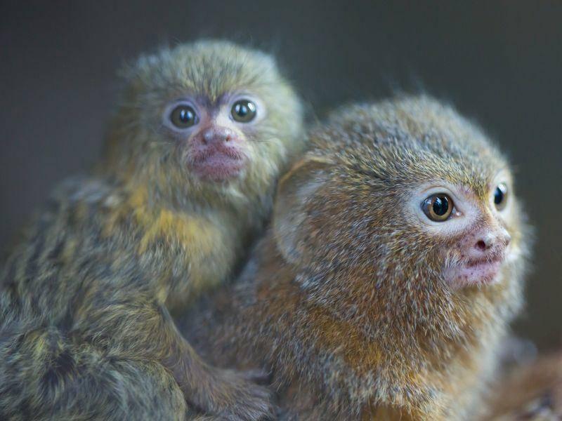 Zwergseidenäffchen sind gesellig und leben in Gruppen mit bis zu neun Tieren zusammen – Bild: Shutterstock / Cuson