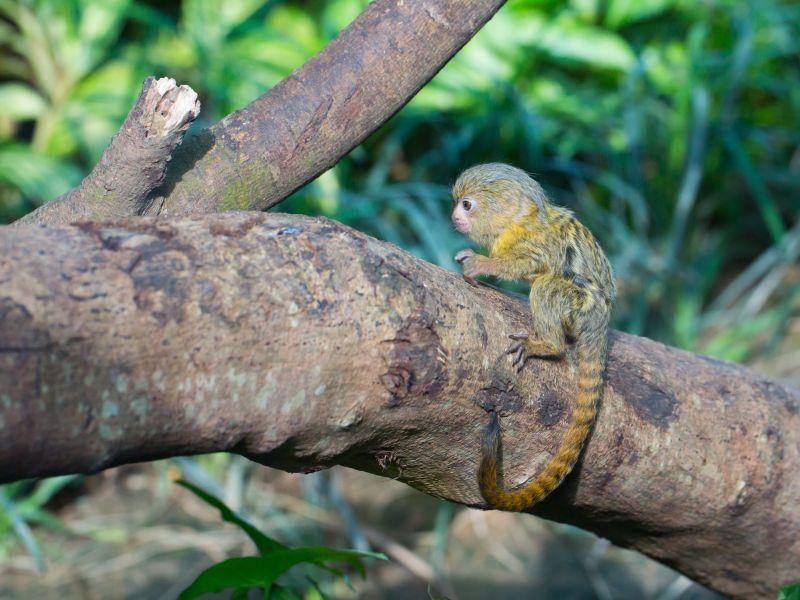 ... sie sind zum Beispiel in verschiedenen Gebieten Brasiliens, Kolumbiens und Ecuadors zu Hause – Bild: Shutterstock / Cuson