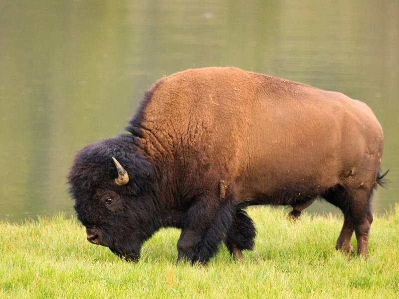 Diese Tiere können bis circa 900 Kilogramm schwer werden, Weibchen etwa die Hälfte davon – Bild: Shutterstock / Julie Lubick