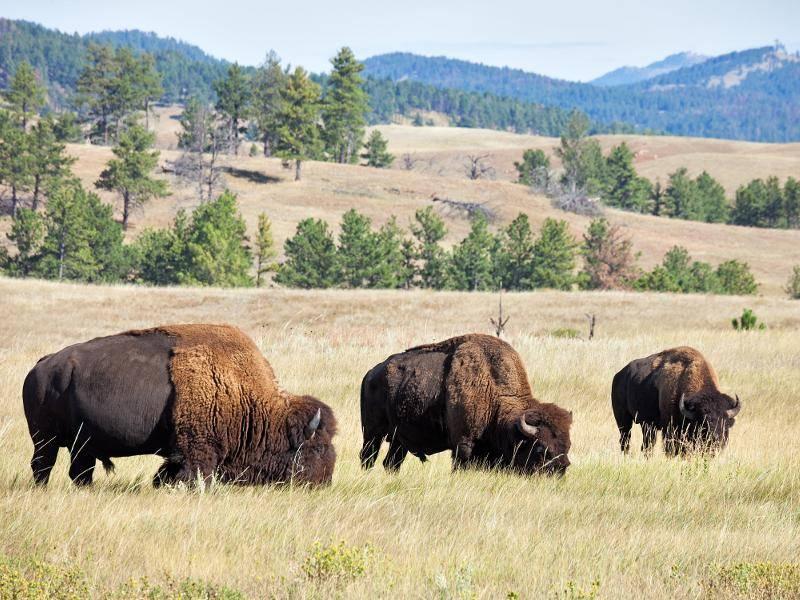 Männliche amerikanische Bisons leben allein oder in kleinen Gruppen, Kühe und Kälber in Herden – Bild: Shutterstock / Anton Foltin