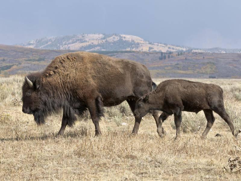 Die Kälbchen gehen bereits zwei bis drei Tage nach ihrer Geburt mit der Herde – Bild: Shutterstock / David Osborn
