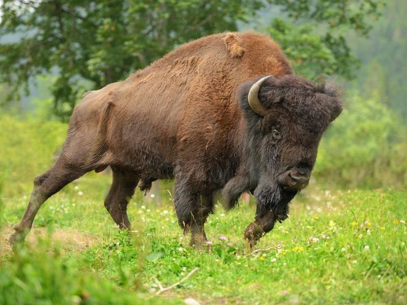 Trotz des schweren und großen Körpers kann dieses Tier bis zu 50 km/h schnell rennen – Bild: Shutterstock / Volodymyr Burdiak