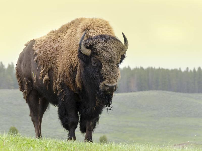Mit circa drei Jahren sind amerikanische Bisons geschlechtsreif – Bild: Shutterstock / sergioboccardo