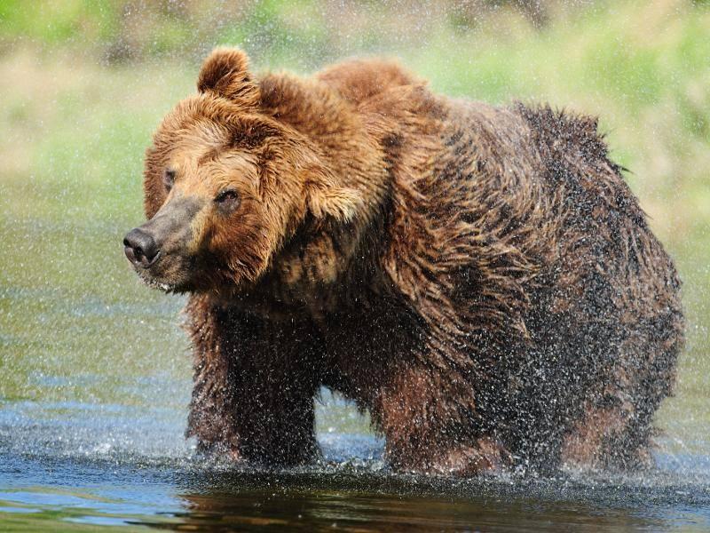 Die Braunbären sind zudem Einzelgänger und gehen nur zur Paarungszeit eine Verbindung ein – Bild: Shutterstock / Lorraine Logan