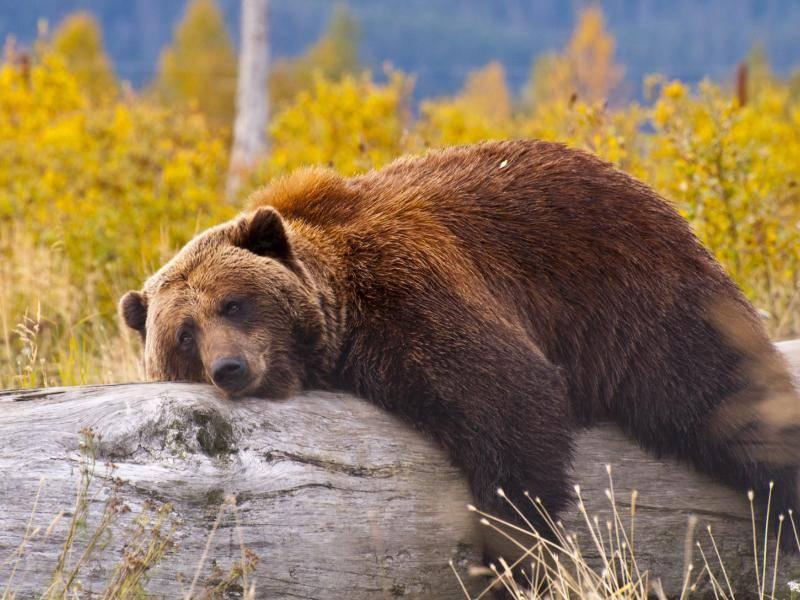 In der kalten Jahreszeit halten Braunbären eine Winterruhe, die je nach Lebensraum aber zeitlich variieren kann – Bild: Shutterstock / Adam Van Spronsen