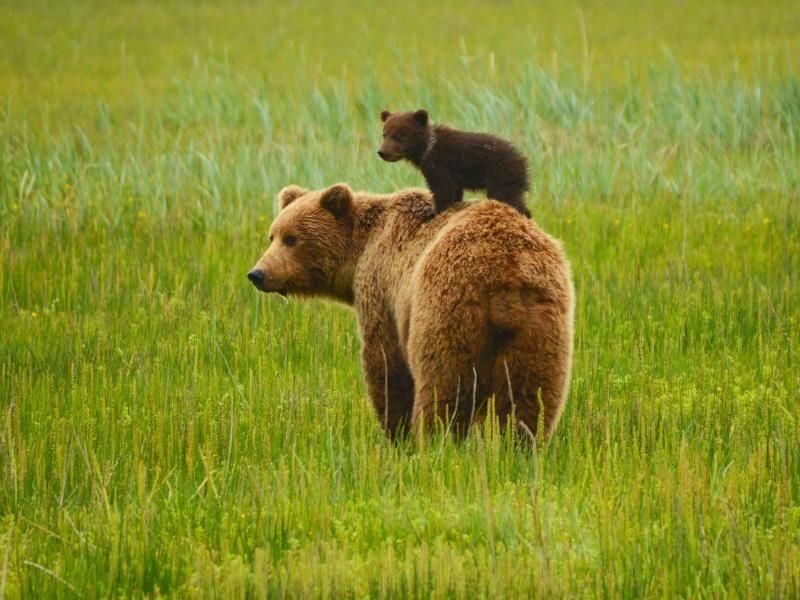 So lässt es sich als kleiner Braunbär gut aushalten – Bild: Shutterstock / David Rasmus