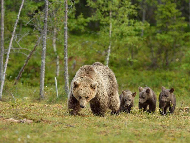 Für gewöhnlich kommen zwei bis drei Jungtiere pro Wurf auf die Welt. Süß die Kleinen! – Bild: Shutterstock / Erik Mandre