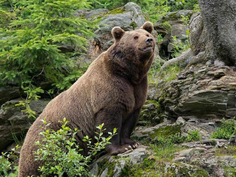 Dieses beeindruckende Tier kann eine Kopfrumpflänge von circa 2,8 Metern erreichen... – Bild: Shutterstock / Rob Christiaans