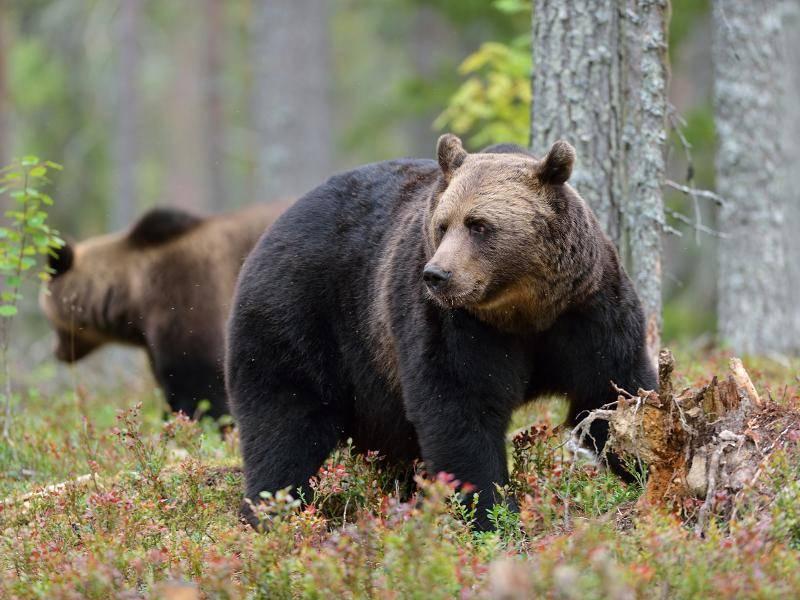 Heutzutage sind Braunbären vor allem in Nordamerika, aber auch in Teilen Europas anzutreffen – Bild: Shutterstock / Erik Mandre