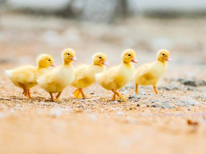 Diese Entenküken gehen lieber spazieren. Zuckersüß! – Bild: Shutterstock / HTU