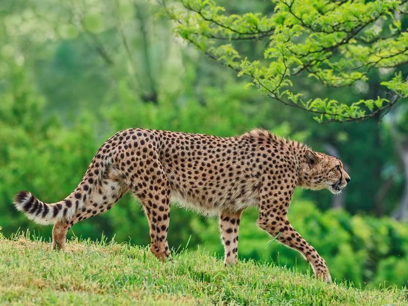 Charakteristisch für einen Gepard ist zudem sein schlanker Körperbau – Bild: Shutterstock / Michal Ninger