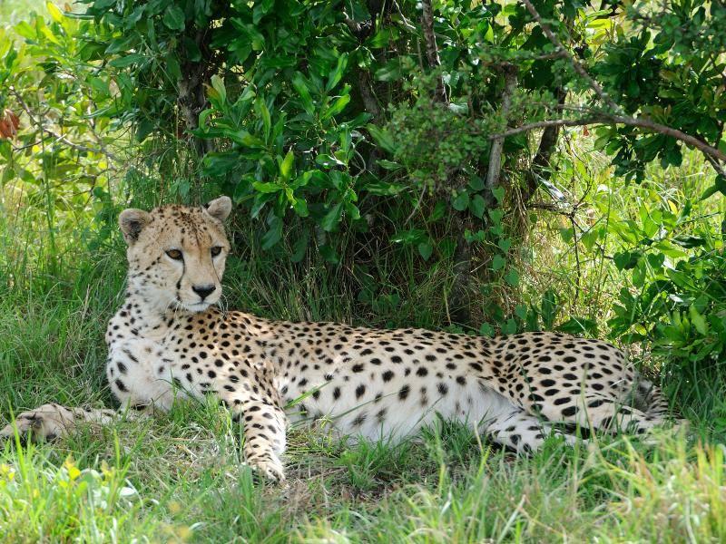 Selbst in entspannter Pose sieht der Gepard noch elegant und außergewöhnlich aus – Bild: Shutterstock / nelik