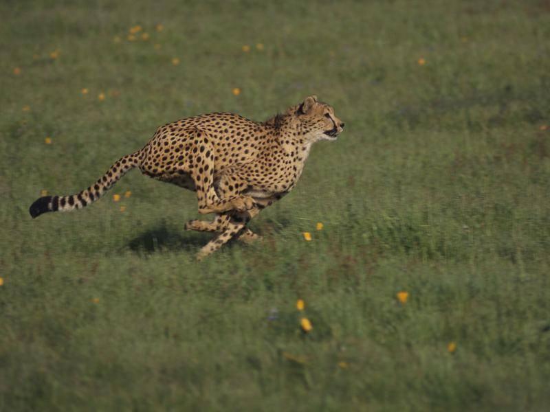 Auf der Flucht oder auf Jagd: Ein Gepard kann 100 km/h schnell rennen. Eindrucksvoll! – Bild: Shutterstock / Volt Collection