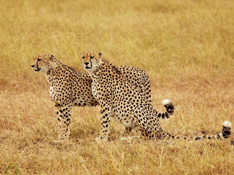 Mit seinem geschmeidigen Körper von circa 150 Zentimeter Länge fällt der Gepard auf – Bild: Shutterstock / Bryan Busovicki