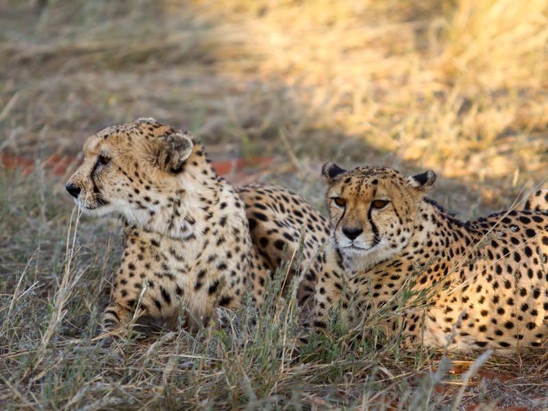 Tagsüber sind Geparden aktiv, während sie sich in der Nacht in ihre Verstecke zurückziehen – Bild: Shutterstock / Morenovel