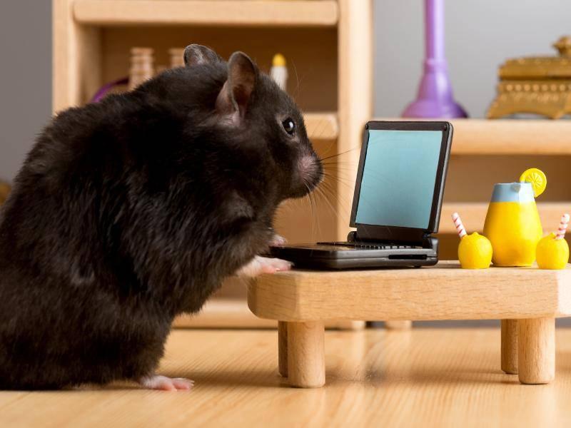 Diesem Hamster genügt es auch, auf einen leeren Bildschirm zu schauen – Bild: Shutterstock / fotofeel