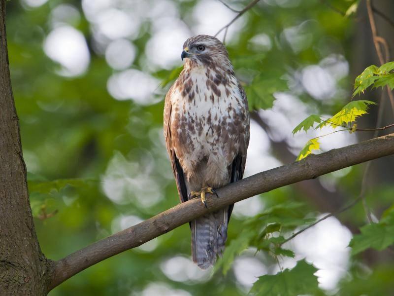Ganz besonders in Waldgebieten fühlen sich diese Vögel wohl... – Bild: Shutterstock / Bildagentur Zoonar GmbH