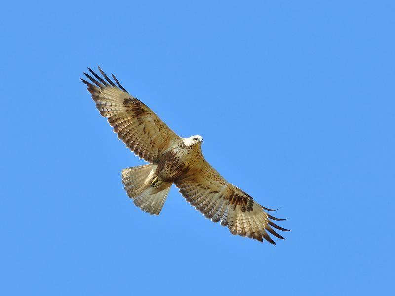 Sie werden circa 57 Zentimenter lang, ihre Flügelspannweite kann rund 128 Zentimeter betragen – Bild: tea maeklong