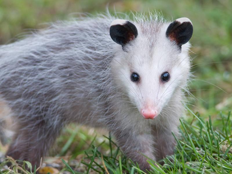 Bis zu sechs Kilo kann ein Opossum auf die Waage bringen – Bild: Shutterstock / Gerald A. DeBoer