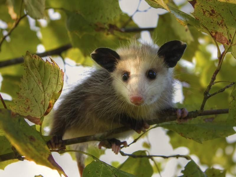 Dabei halten sie sich überwiegend in bewaldeten Gegenden auf – Bild: Shutterstock / Steini Hrafnsson
