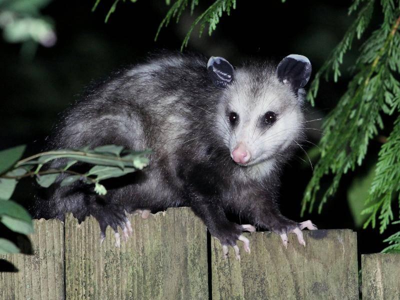 Die Tiere sind in der Nacht aktiv und als Einzelgänger unterwegs – Bild: Shutterstock / Randimal