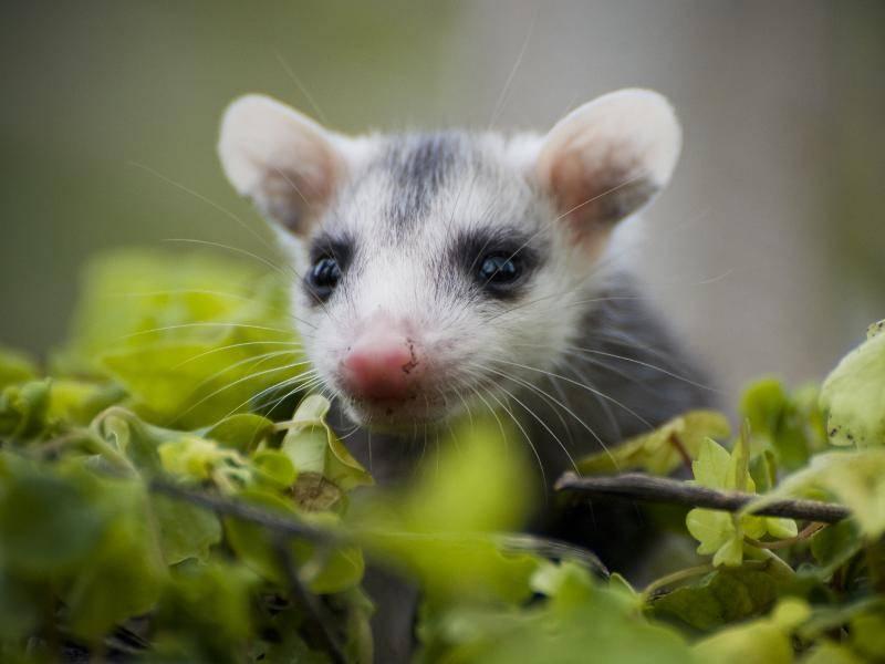 Jungtiere der Opossums werden bereits nach rund 12 Tagen geboren und bleiben dann zunächst im Beutel der Mutter – Bild: Shutterstock / Heiko Kiera