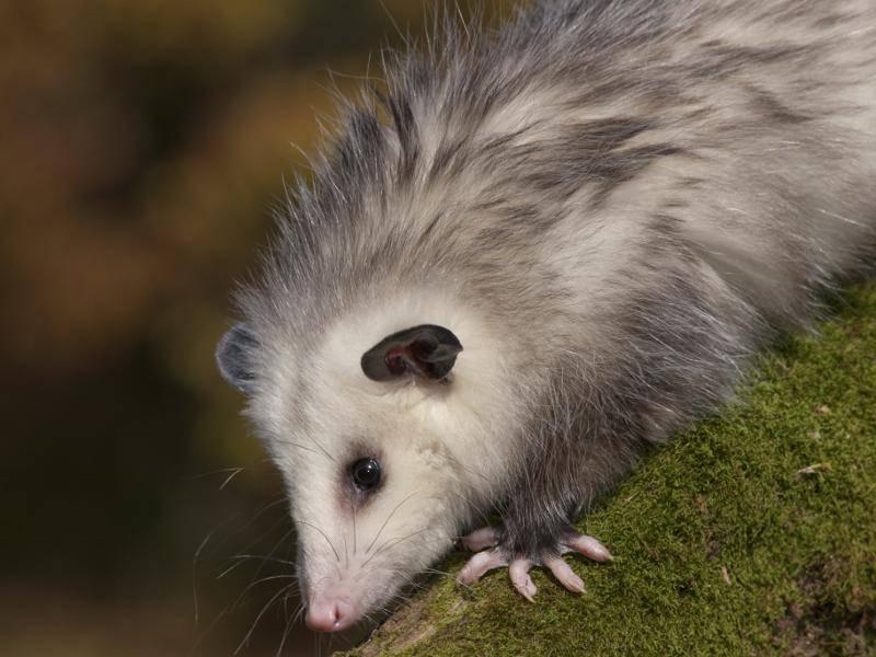 Nach circa drei Monaten werden Opossums selbstständig und entdecken allein die Welt wie dieses Kerlchen – Bild: Shutterstock / artcphotos
