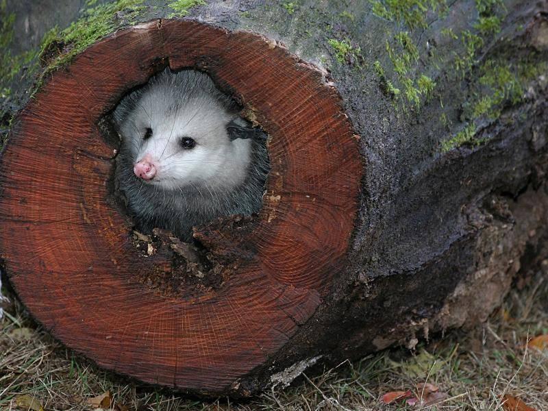 Tagsüber halten sich Opossums zum Beispiel in hohlen Bäumen oder Felsspalten auf – Bild: Shutterstock / Alan Gleichman