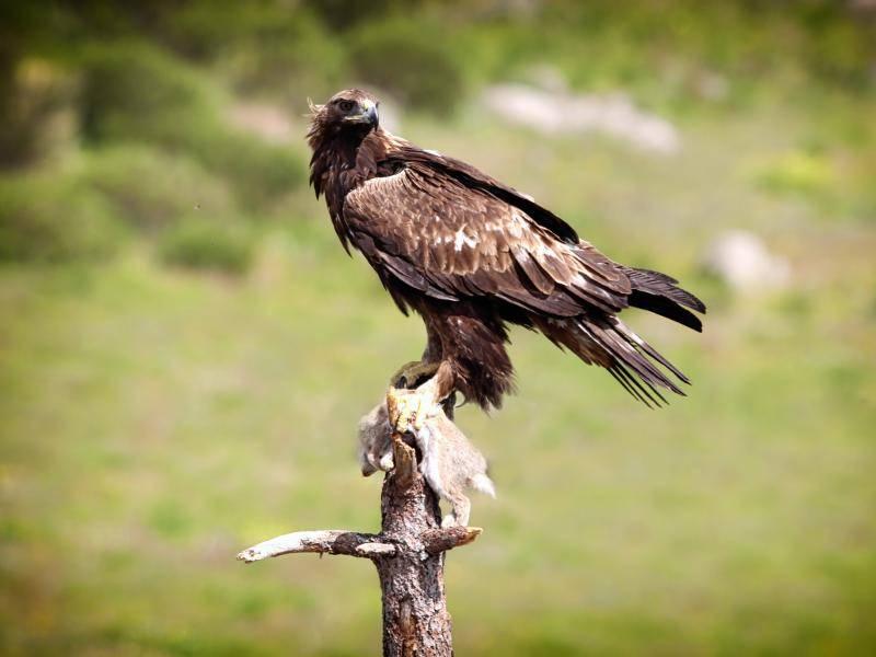 Ein faszinierendes Tier, der Steinadler! – Bild: Shutterstock / Mark-Caunt