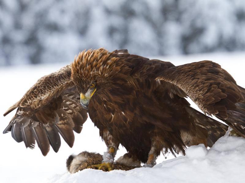 Bis zu 15 Kilogramm schwer kann die Beute eines Steinadlers dann schon sein – Bild: Shutterstock / Peter Krejzl
