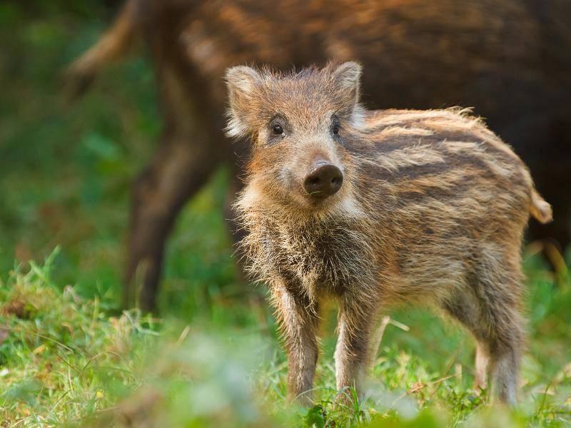 Droht den kleinen Jungtieren Gefahr, können sie dann von ihrer Mutter verteidigt werden – Bild: Shutterstock / Neil Burton