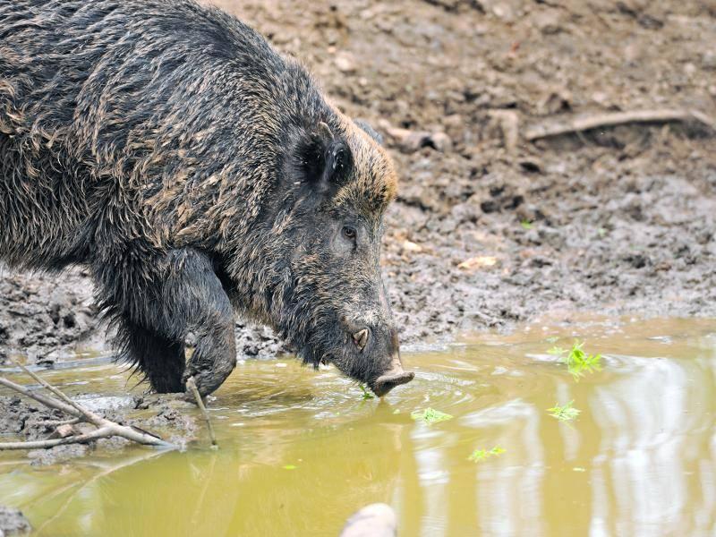 Aber auch Wasserpflanzen stehen bei diesen Tieren auf dem Speiseplan – Bild: Shutterstock / Volodymyr Burdiak